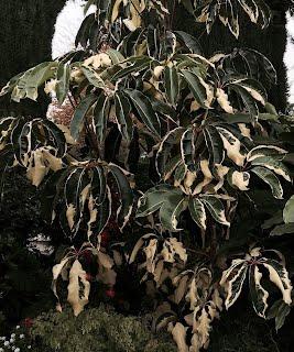 Tupidanthus variagata