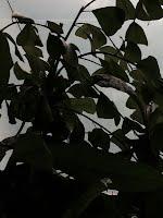 Ficus triandularis