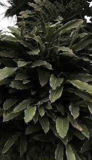 Amomum cardamomum