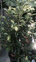Ficus green gene