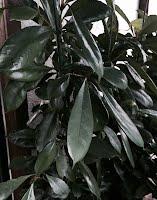"""Ficus """"Cy"""" cyathistipula"""
