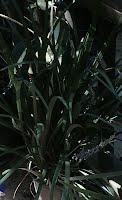 liriope gigantea