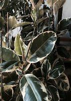 Ficus elastica tricolor