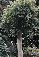Ficus nidita